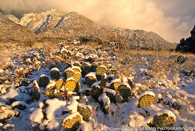 A January winter snow storm is accented by some prickly pear cactus in the foothills of the Sandia Mountains near Albuquerque, NM. ..