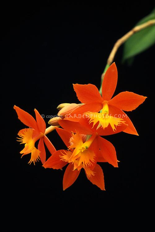 Epidendrum Cinnabarinum Reedstem Orchid Species Plant Flower
