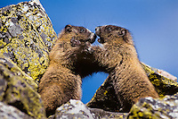 Hoary marmots (Marmota caligata) wrestling in alpine rock pile.  Northern Rockies.