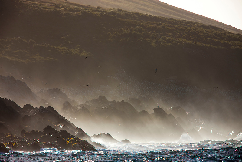 Black-browed albatross soar in the wind along the shore of Steeple Jason Island, Falkland Islands