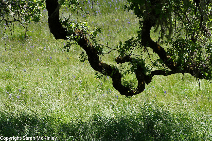 A twisted oak branch reaches out over a meadow along Reynold's Highway outside of Willits in Mendocino County in Northern California.
