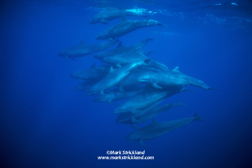 Rarely seen by divers, a pod of False Killer Whales, Pseudorca crassidens, swims in tight formation. One individual seems to have paused momentarily to eye the photographer as its companions continue on their way. These swift predators reach 18 ft. in length, hunt in packs, and feed on large pelagic gamefish like tuna, wahoo, and sailfish. Similan Islands Marine National Park; Thailand; Andaman Sea
