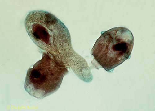 PR01-013x  Protozoa Didinium - eating paramecium - Didinium spp.  250x