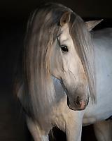 Portrait of Lusitano Andrade stallion Bacante