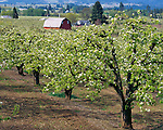 Hood River County, OR: Red barn nestled in a blossoming pear orchard in Hood River Valley