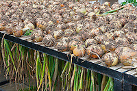 Onions drying in a greenhouse, Middle Claydon, near Buckingham, Buckinghamshire