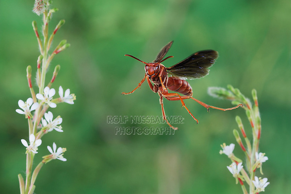 Red Paper Wasp (Polistes carolina), adult in flight, Dinero, Lake Corpus Christi, South Texas, USA