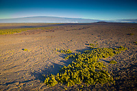 An aerial view of plant life growing in the East Rift Zone of Kilauea Volcano, Hawai'i Island.
