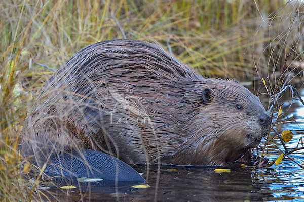North American Beaver (Castor canadensis) at feeding station where it is eating aspen tree limb.  Northern Rockies,  Fall.