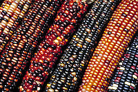 Dried ears of ornamental corn, in many bright striking colors. . Utah , States Downtown Farmer's, Market.