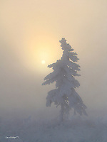 A lone spruce tree stands frigidly in temperatures exceeding twenty below as the sun makes a soft, winter rise.