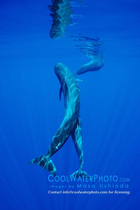 Short-finned Pilot Whales, Globicephala macrorhynchus, mother and calf, off Kona Coast, Big Island, Hawaii, Pacific Ocean