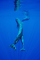 Short-finned Pilot Whales, Globicephala macrorhynchus, mother and calf, off Kona Coast, Big Island, Hawaii, Pacific Ocean