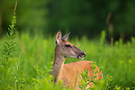 Alert white-tailed doe standing in a northern Wisconsin field.