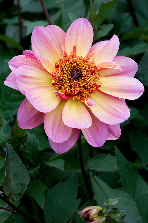 Dahlia 'Floorinoor', mid August.