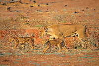 African lions--female with two cubs.  Africa.