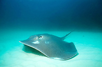 thorntail stingray or black stingray, Dasyatis thetidis, New South Wales, Australia, Pacific Ocean