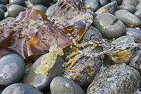 Herring roe (eggs) deposited on seaweed along a beach in Sitka Sound, southeast, Alaska