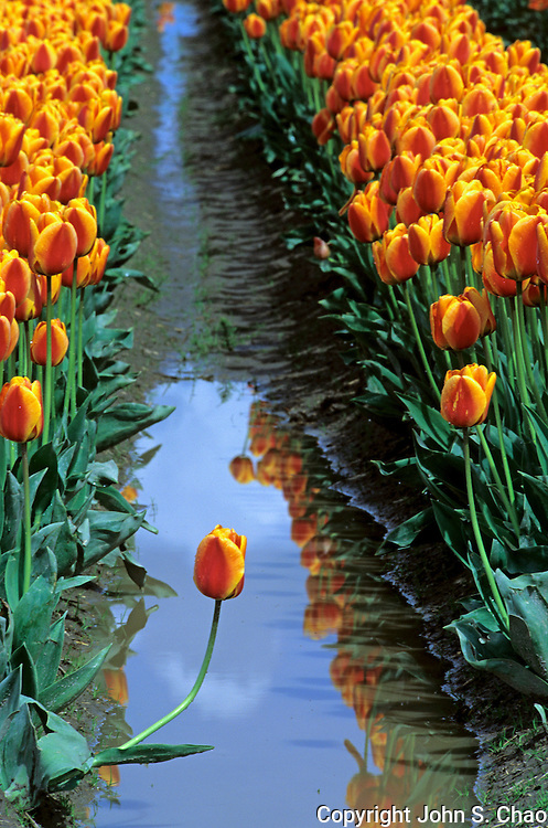 A single orange bloom extends itself from a line of cultivated tulips at a farm in Skagit Valley, Washington.....Photographed on digital media.
