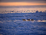 Polar bear and cubs walking across ice.