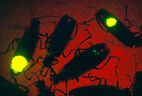 FIREFLIES (LIGHTNING BUGS)<br />