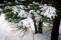 ICE AND SNOW<br /> Snow On Pine Needles<br /> AZ
