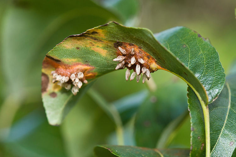 European pear rust (Gymnosporangium sabinae). Protruding gall-like growths develop on the underside of infected leaves, beneath the orange patches that appear on the upper surface.