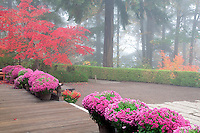 Fall colored japanes maple tree with fog and chrysanthemums. Portland Japanese Gardens, Oregon