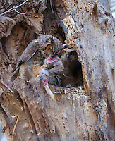 Great Horned Owl family, female with prey, Burlington County, New Jersey
