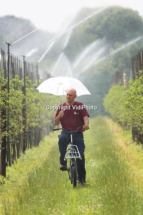 Foto: VidiPhoto<br /> <br /> RANDWIJK - In snel tempo fietst bedrijfsleider Peter Oostdijk van Fruitconsult donderdag door de tientallen boomgaarden van proefboerderij PPO in Randwijk om de sproeikoppen van de beregeningsinstallatie te controleren. Fruitconsult beheert sinds begin dit jaar de fruitbomen op het Betuwse proefcentrum. Nu het fruit -en de jonge boompjes- flink groeit moet alles op de proefboomgaarden in balans zijn: voldoende zon, maar vooral ook vocht. De fruitoogst is dankzij het warme voorjaar dit jaar twee weken tot een maand vroeger. Doordat de grond op dit moment erg droog is, adviseert Fruitconsult fruittelers te beregen om er voor te zorgen dat de appels en peren bij de oogst &quot;aan de maat&quot; zijn.