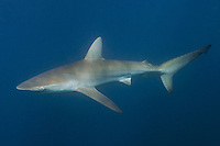 Bronze Whaler Shark, Carcharhinus brachyurus, aka copper shark. Sardine Run, Port Saint Johns, Wild Coast, South Africa.