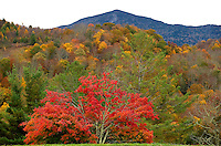 An overlook at Grandfather Mountain in Linville, NC, offer visitors a spectacular view of the autumn leaf colors. Each fall the North Carolina mountain forests (Blue Ridge Parkway) transform themselves a tapestry of brilliant oranges, reds and yellows. In autumn 2013, the tree-lined Blue Ridge Mountains were a popular spot for travelers, tourists and visitors seeking beautiful vistas of fall leaf foliage.