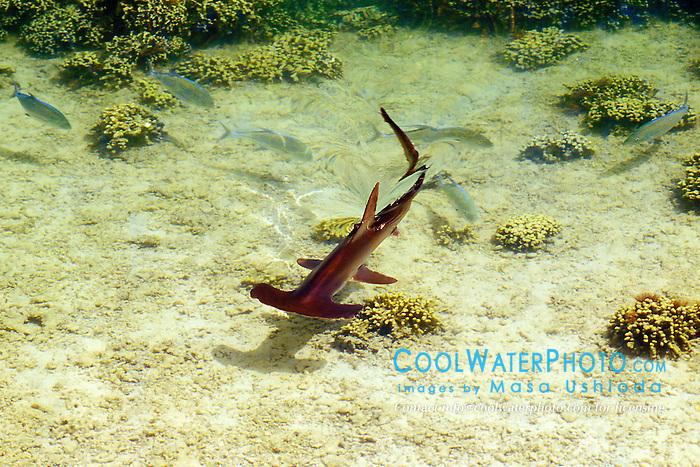 scalloped hammerhead shark, Sphyrna lewini, juvenile, Oahu, Hawaii, Pacific Ocean (c)
