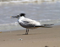 Sandwich tern in post-breeding plumage in July