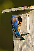 Eastern Bluebird (Sialia sialis). Male on nesting box. Spring. Carolinian Forest. Lake Ontario, Ontario, Canada.