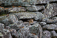 Chipmunk hides in a rustic fildstone wall, Vermont, USA