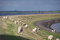 Sylt, Germany. Rantumbecken. Heidschnucken (sheep).