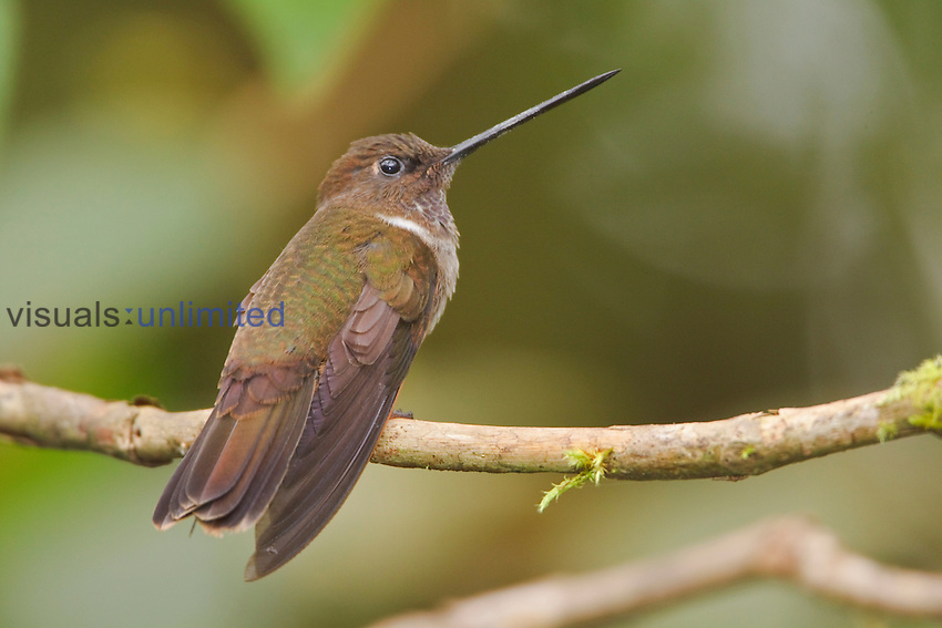 Brown Inca hummingbird (Coeligena wilsoni) perched on a branch at the Mindo Loma  Reserve in northwest Ecuador.