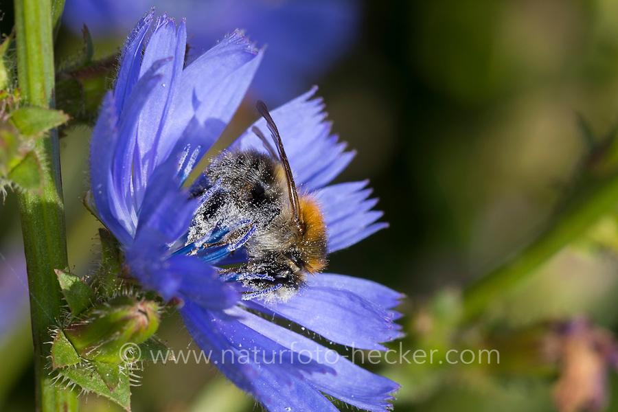 Ackerhummel, Acker-Hummel, Hummel, Bombus pascuorum, Bombus agrorum, Megabombus pascuorum floralis, Blütenbesuch an Wegwarte, Nektarsuche, Bestäubung, common carder bee, carder bee, le bourdon des champs