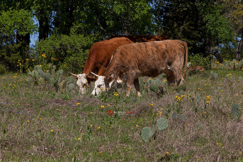 Texas Cattle graze by prickly pear cactus in the Texas Hill Country; Texas; USA