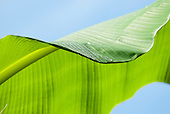 Aldeia Baú, Para State, Brazil. Dew on a wild banana leaf against a blue sky.