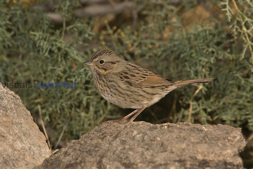 Lincoln's Sparrow (Melospiza lincolnii) perched on a rock, Arizona, USA.