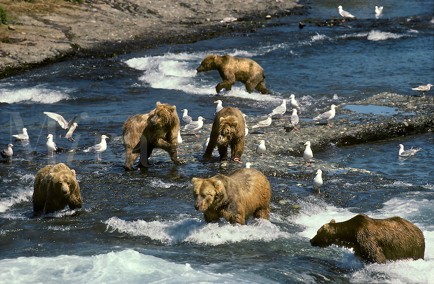 Alaskan Brown Bears (Grizzly Bear) Catching Salmon, McNeil River, Alaska