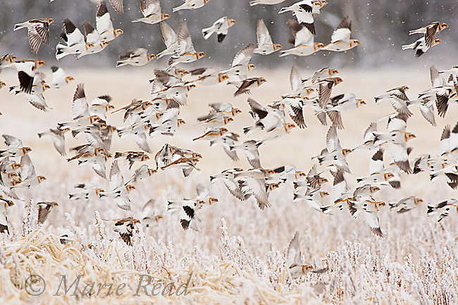 Snow Buntings (Plectrophenax nivalis) flock taking flight from an ice-covered field in winter, New York, USA