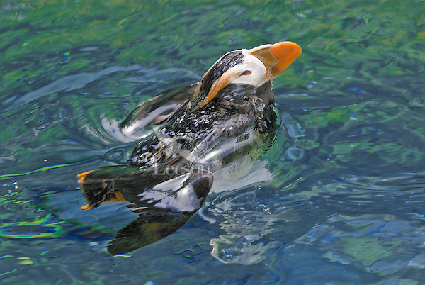 Tufted Puffin (Fratercula cirrhata) breaking the surface after dive.  Pacific Northwest.