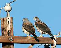 Pair of white-tailed hawks on power pole