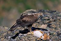 Bonelli's Eagle Adult - Aquila fasciata