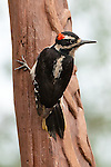Hairy Woodpecker, Port Angeles, Washington.