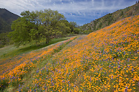 Sierra National Forest, CA<br /> Hillside covered with spring flowers with oak trees in the distance along the Moss Creek Trail, Merced River Canyon