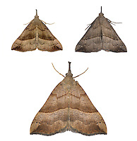 Snout - Hypena proboscidalis - 72.003 (2477)<br /> left and bottom - 1st generation<br /> right - 2nd generation